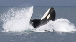 Invasion of Killer Whales